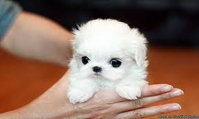 Lovely Face Maltese Puppies Text 779 206-7226