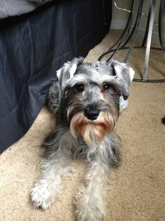 Lost Miniature Schnauzer Huge Reward  San Marcos