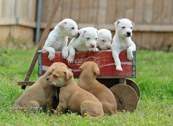 Dogs for Sale in Shreveport | Dogs on Oodle Classifieds