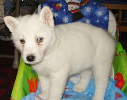 270  Siberian Husky for sale contact 6 5 1 3 1 7 7 8 2 7