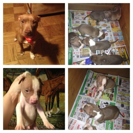 Pit puppies ready for their home (Shreveport )