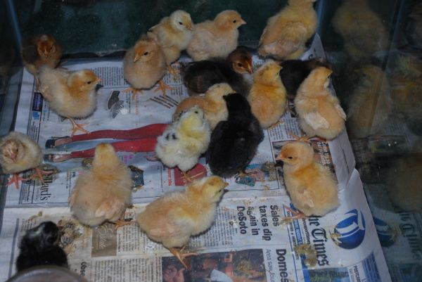 Buff Orpington Mixed Chicks Large Fowl Chickens - $3 (shreveport)