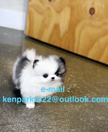 200  Micro Teacup Pomeranian Puppies For AdoptionText me at 254-647-8735