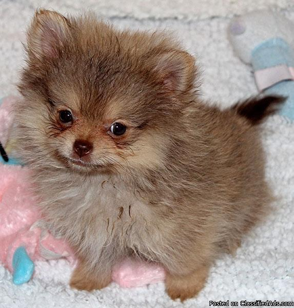 250  Affectionate Teacup Pomeranian Available text 815 513-8593