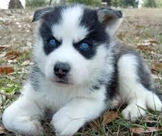 250  two Siberian husky puppies puppies for sale  Male amd Female text240385-9178