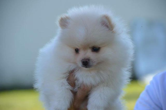 300  Cute Pomeranian Puppies for addoptionText 321 238-8196