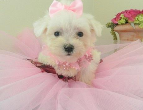 300  Trained Maltese Puppies available