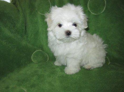 400  awesome maltese puppies available