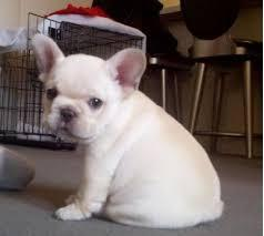 450  Cute Set of French Bulldog puppies
