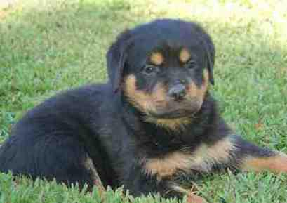 500  male and female rottweiler puppies available