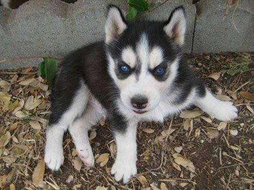 8 976  Quality Male and Female Siberian Husky Puppies For Sale