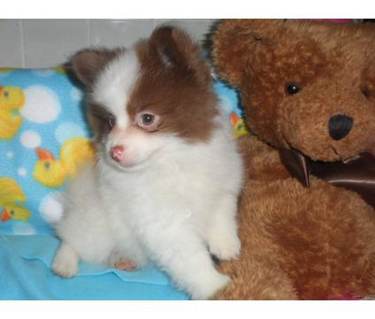 AKC Chocolate and White Pomeranian puppies for Adoption Text 929 320-0405