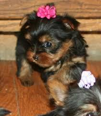Adorable Yorkie Puppy Text509 295-2916