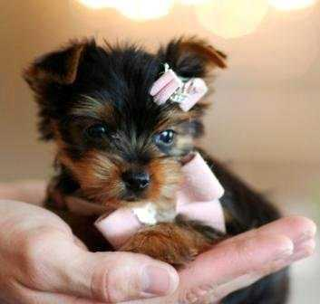 Adorable baby teacup Yorkie puppies text 612 213-4721
