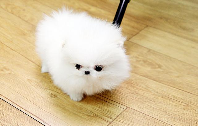 Amazing White teacup Pomeranian puppies for sale  TEXT786 571-4210