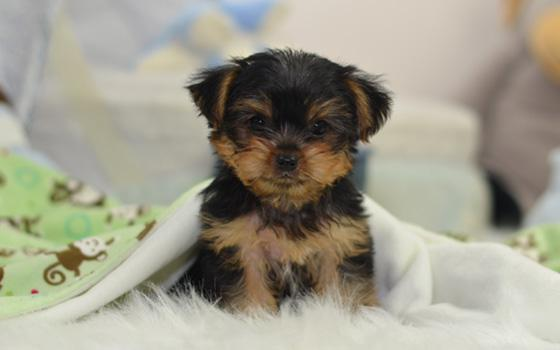 Amazing teacup Yorkie puppies available Leave a text at 406 209-8604