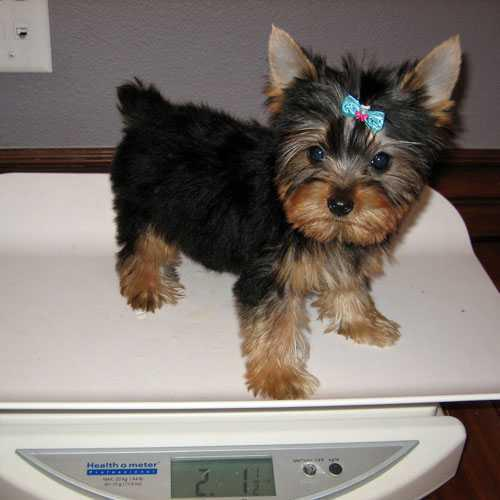Champion Teacup Yorkie puppies for adoption
