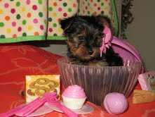 Elegant Teacup Yorkie Puppies612 213-1764