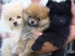 I have a wonderful litter of 5 pomeranian puppies for sale    text for more information about