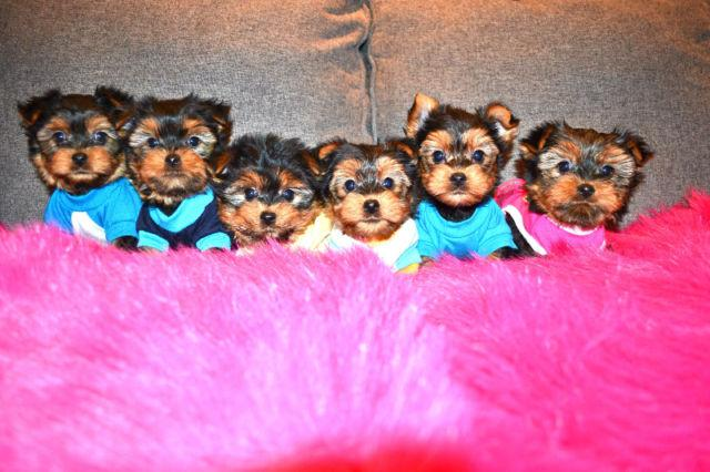Legit Home Trained MalesFemales Tcup Yorkshire Terrier Pups Yorkies Available 360 207-6307