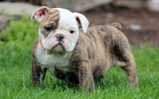Lovely English Bulldog Puppies Looking For Free Home
