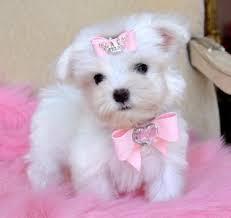 Perfect little Maltese Puppies Available Text 779 206-7226