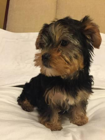 Registered Teacup Yorkshire Terrier Puppies for loving home  775 984-6940