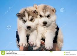 Siberian husky puppies are Good  attitude for your home