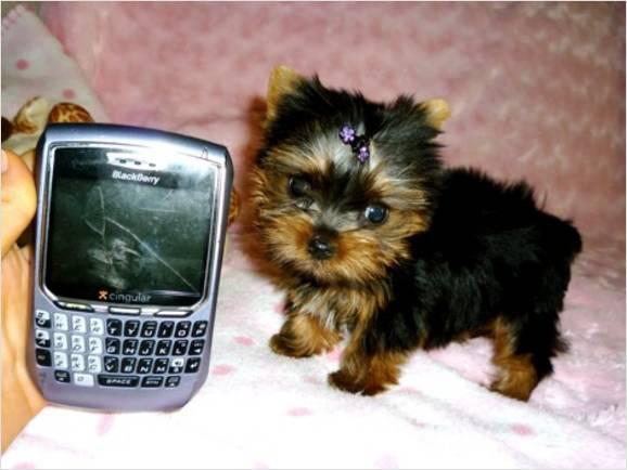 Teacup Yorkie Poo Puppies for sale tina call or text at 660 236-8446