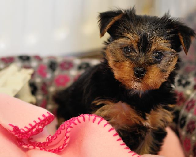 Two adorable 10 week old puppies Yorkie and Yorkie looking for good