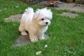 Wonderful White Teacup Maltese Pups Available Text 779 206-7226