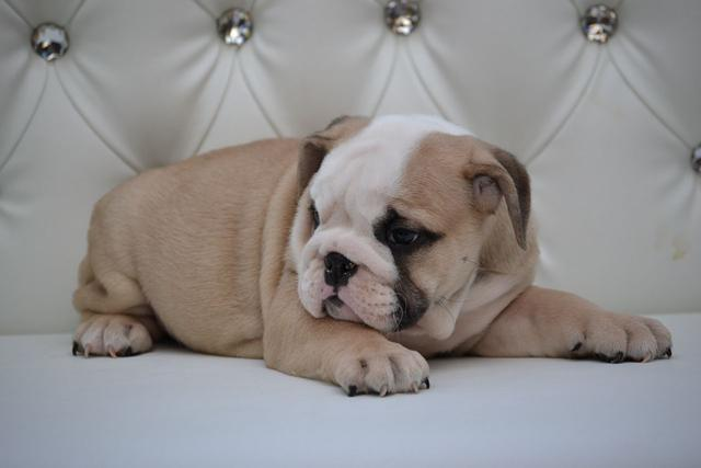 epicbullyz Puppies Pet Homes Only
