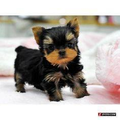 esfesd Yorkie Puppies for Sal   e  text 334 357-7793