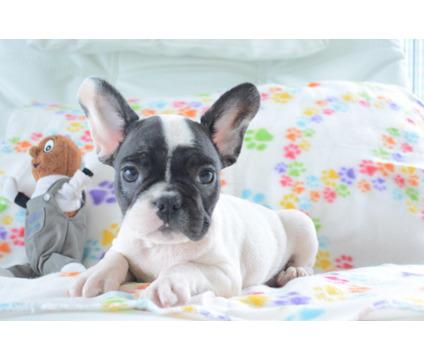 french bulldog puppies available now754 307-8533