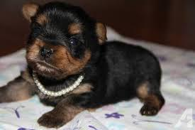 je  Quality male and female  Yorkie Puppies for adoption