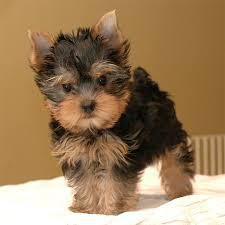 pretty yorkie puppies we wanna send them on a free rehoming