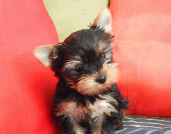 two lovely teacup Yorkie puppies for adoption text 612 213-4721
