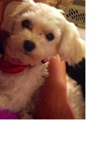 LOST     300 REWARD   LOST ALL WHITE MALTESE POODLE  PEARCY OR HOT SPRINGS AND SURR  AREAS