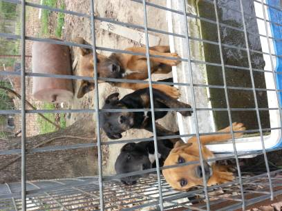 34 pitbull and 14 boxer FREE ALL PUPPIES Are MALE (fouke )