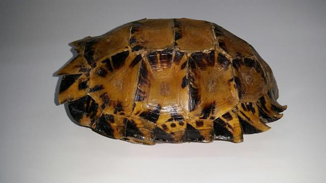300  Majestic Asian Impressed Mountain Tortoise shell for display