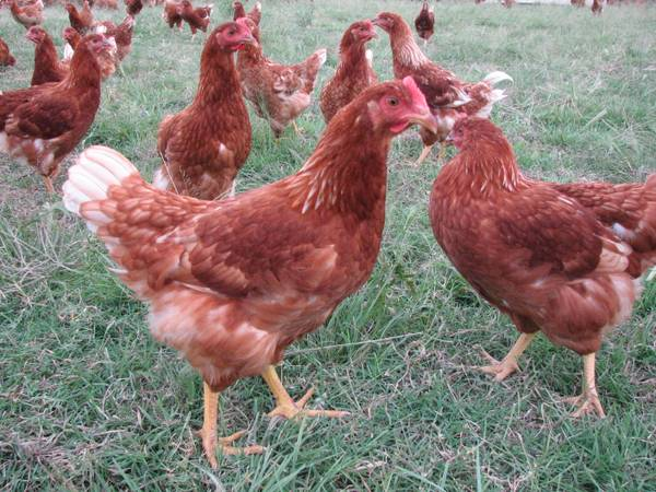 Red Star Laying Hens (pullets) - $14 (Duncan Ok)