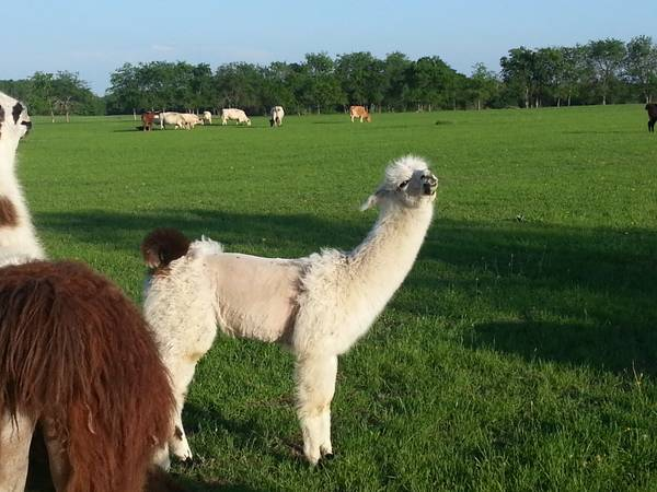 Llamas ready for their new home (Sherman)