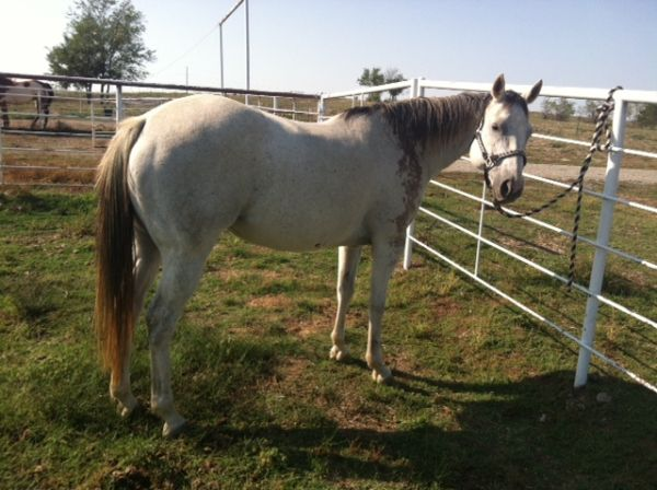 Beautiful 11 YO Gray Mare-Bred for Speed - $2500 (Savoy (Bonham Sherman))