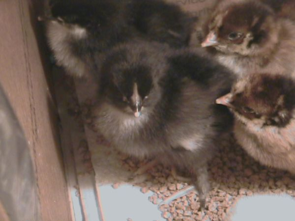 8 BLACK COPPER MARANS and 3 BARNEVELDER CHICKS - $40 (Windom, TX )