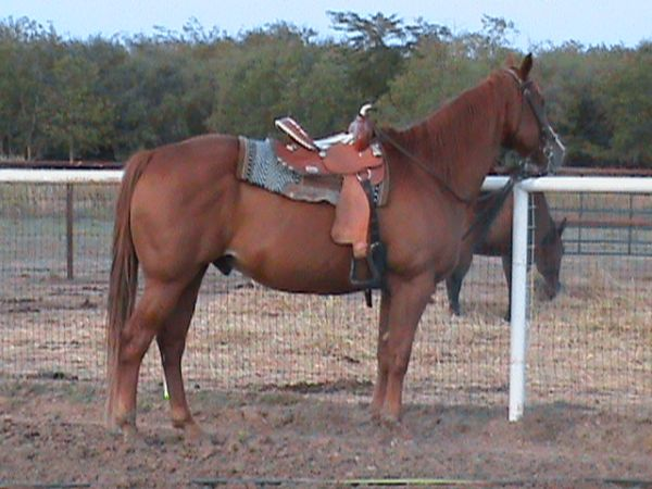 Breathtaking Beautiful Ranch Gelding Beginner Safe Finished Heading - $1800 (Tioga)