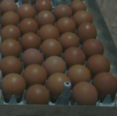15 RARE CHICKEN HATCHING EGGS - $20 (Windom, TX)
