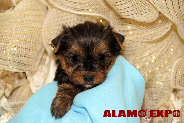 499  Yorkie Babies Boys and Girls All Sizes