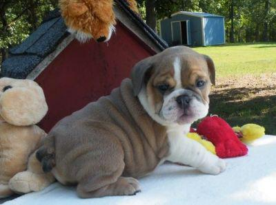 500    Cute AKC Registered English Bulldog Puppies for sale