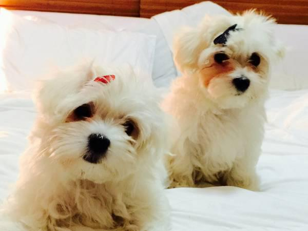 500  cute Male and Female Maltese Puppies looking for new home    text 470 328-5277