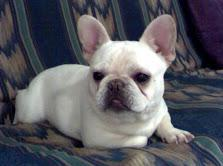 700  Awesome AKC French Bulldogs Puppies